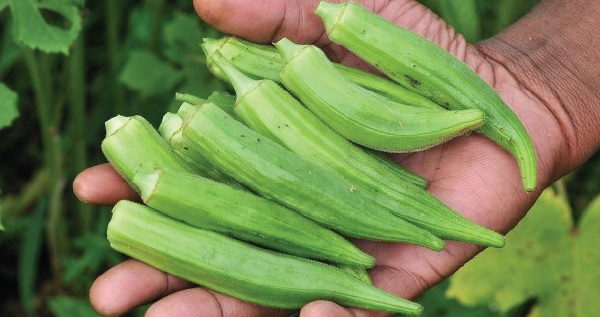 beneficios okra